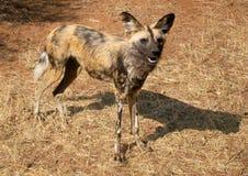 通配非洲狗lycaon的pictus 免版税库存照片
