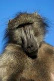 通配非洲的狒狒 免版税图库摄影