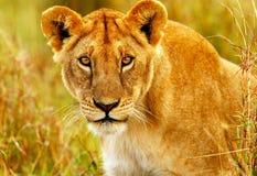 通配非洲美丽的雌狮 免版税库存图片