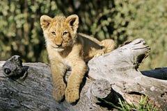 通配非洲例证狮子的向量 免版税库存照片