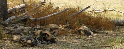 通配非洲的狗 图库摄影