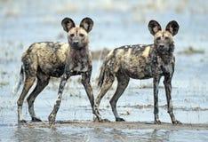 通配非洲的狗 库存照片