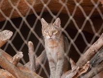 通配非洲的猫 图库摄影