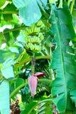 通配香蕉树 库存图片
