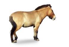 通配马的przewalski s 库存图片