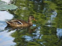 通配鸭子的女性 免版税库存图片