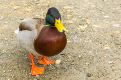 通配鸭子的男 免版税库存照片