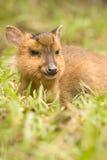 通配鹿的纵向 免版税库存照片