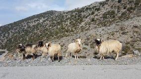 通配组的绵羊 库存图片
