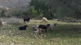 通配组的绵羊 免版税库存图片