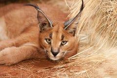 通配caracal的猫 免版税库存图片