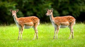 通配deers的母鹿 库存照片