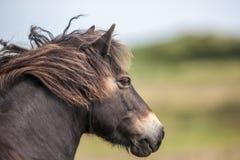 通配exmoor的小马 免版税库存图片