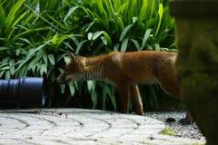 通配Fox Cub 免版税图库摄影