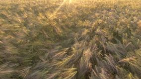 通风 在麦田的飞行在日出 影视素材