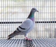 速度赛鸽鸟侧视图充分的身体在家 库存图片