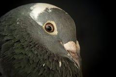 速度赛鸽鸟的恼怒的眼睛 免版税库存图片