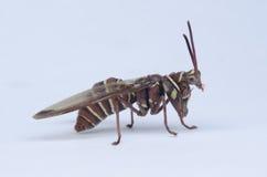 仿造黄蜂的螳螂 免版税图库摄影