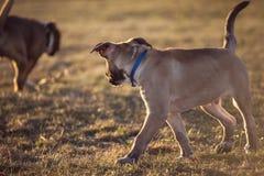 遇见的两条幼小狗,当走时 免版税库存照片