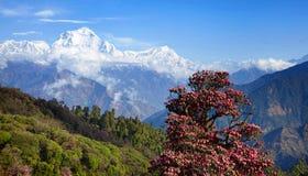 道拉吉里峰峰顶(8167 m)意想不到的看法与春天开花 库存图片