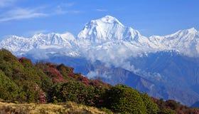 道拉吉里峰峰顶(8167 m)美丽如画的看法与春天开花 免版税图库摄影