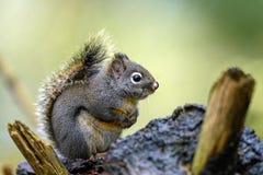 道格拉斯灰鼠红松鼠douglasii在森林 库存照片