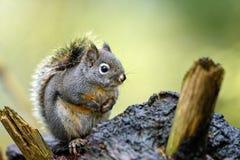 道格拉斯灰鼠红松鼠douglasii在森林 免版税图库摄影