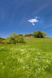道格拉斯douglasii gree limnanthes meadowfoam 免版税图库摄影