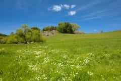 道格拉斯douglasii gree limnanthes meadowfoam 免版税库存图片