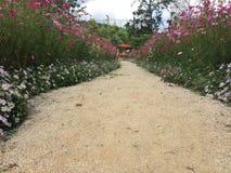 道路公园开花在庭院里的波斯菊花 库存图片