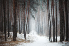 道路在具球果森林里在冬天 图库摄影