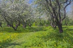 道路在开花期间的一棵老被放弃的苹果树 免版税库存图片