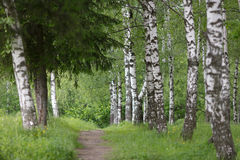 道路在桦树树丛里 库存照片