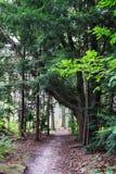 道路在森林里在与很多分支的大树下 库存图片