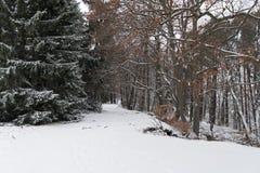 道路穿过一个多雪的森林在冬天 库存图片