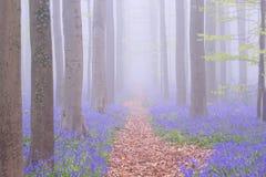道路穿过一个有雾的开花的会开蓝色钟形花的草森林在比利时 库存图片