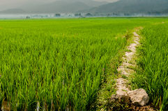 道路穿过一个绿色米领域 库存照片