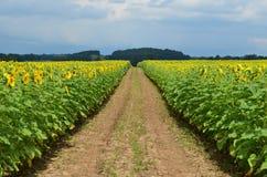 道路穿过了开花的黄色向日葵的领域 免版税库存图片