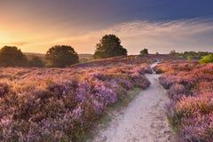 道路穿过在日出, Posbank, Netherlan的开花的石南花 图库摄影