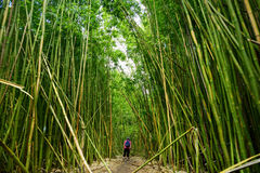 道路穿过密集的竹森林,导致著名Waimoku落 普遍的Pipiwai足迹在毛伊的, Hawai Haleakala国家公园 免版税库存图片