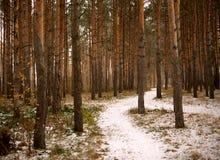 道路穿过杉木森林 库存照片