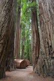 道路穿过红木树 库存图片