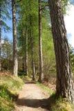 道路绕通过在Corrieshalloch峡谷的高落叶松属树 免版税库存照片