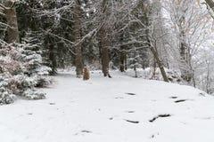 道路throug一个多雪的森林在冬天 库存照片