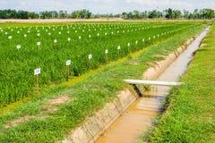 遗传学米测试农场 图库摄影