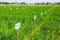 遗传学米测试农场 库存图片