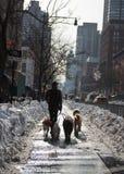 遛几条狗穿过城市的狗步行者 库存照片