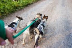 遛无法认出的人在一条干燥多灰尘的路的三条狗 免版税库存照片