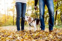 遛美好的年轻的夫妇一条狗在秋天森林里 免版税库存图片