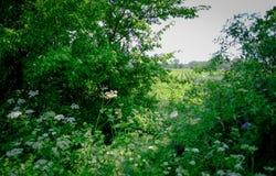 遥远的观点的通过长得太大的树篱被看见的土豆一片新的庄稼  免版税库存图片